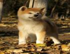 全国连锁双血统秋田犬繁殖基地 本地可上门