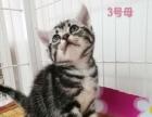 精品美短标斑小母猫四只特价出