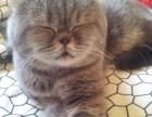 潍坊 哪里有加菲猫卖 自家繁殖 品相极佳 多只可挑