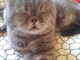 银川 哪里有加菲猫卖 自家繁殖 品相极佳 多只可挑