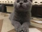 桂林哪里有蓝猫卖 蠢萌型 健康无廯送货上门 支持空运
