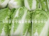 玉田县白菜种植基地 出口级别白菜