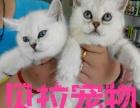 【贝拉宠物】最低金吉拉猫暹罗猫蓝猫加菲猫折耳猫