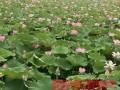 安新县玖水莲水生植物种植合作社合作社--荷花种植的方法