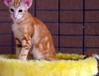 CFA家庭式猫舍繁育加菲猫宝宝-健康可爱黏人