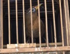 贵州画眉鸟活鸟活体