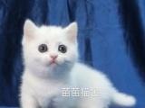 赛级曼基康短腿猫宝宝预定!