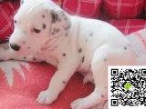 斑点狗多少钱一只 哪里有卖斑点狗幼犬 斑点狗图片