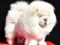重庆哪里卖松狮犬幼犬重庆松狮多少钱一只大毛量紫色松狮图片