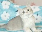 纯种短毛猫渐层(银渐层.金渐层)疫苗齐 健康包