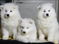 重庆纯种微笑天使萨摩耶幼犬,雪白无水锈,骨骼粗毛量足