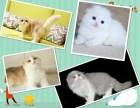 哪里有出售精品宠物折耳猫包纯种健康送货上门