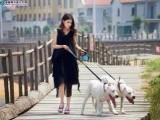老a犬舍 低价出售 精品杜高 杜高幼犬3个月 疫苗齐全