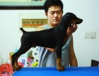 保纯保健康 疫苗驱虫均已做完 可签协议-护卫杜宾犬