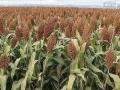 高粱谷子代收吉林省通榆县高粱谷子代收