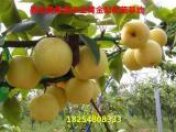 3公分梨树苗批发
