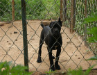 哪里有卖纯种卡斯罗猛犬出售 疫苗驱虫按时做好可签协议