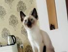小暹罗母猫。。。