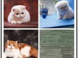 哪里有出售精品宠物加菲猫包纯种健康送货上门
