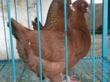 东莞石排优质元宝种鸽