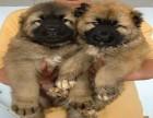 高加索犬 常年销售 包细小犬瘟冠状 包防疫包纯种
