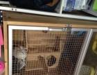 转让成年龙猫一对标灰粉白和两个柜笼