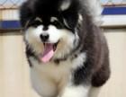 上海极品大骨架熊版 巨型 阿拉斯加 雪橇犬纯种健康出售