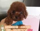 玩具巧克力咖啡色泰迪犬 终身保障纯种健康 签协议