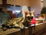 孟加拉豹猫双亲血纯,健康无传染病,均60天以