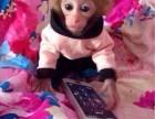 山东省威海市哪里有卖袖珍石猴宠物猴