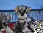 出售纯种雪纳瑞幼犬 哪里卖健康雪纳瑞多少钱 雪纳瑞价格