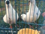 无锡出售元宝鸽 元宝鸽青年鸽 元宝鸽幼鸽