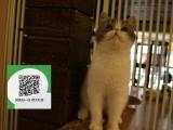 柳州哪里卖加菲猫 加菲猫价格 加菲猫哪里有卖