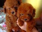 五一特卖小泰迪现货1000 包健康包纯种家养狗狗