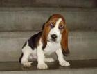 cku注册五星级犬舍 双血统巴吉度可上门挑选