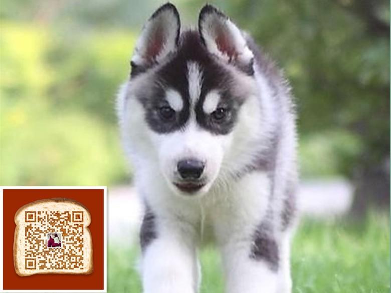 武汉出售三把火哈士奇 宝石蓝眼睛 做完疫苗 纯种健康