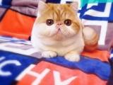 猫舍出售纯种黄白加菲 公母均有