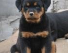 广东哪里有卖罗威纳幼犬 汕头哪里有卖罗威纳幼犬