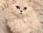 杭州哪里有金吉拉猫卖 猫舍直销 健康活泼 包纯种 保养活