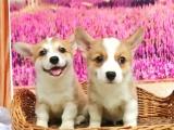 重庆出售 柯基幼犬狗狗出售 包纯种 包健康