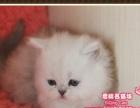 超美萌的英国长毛渐层猫小弟弟--思晴名猫坊