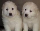 大连出售纯种大白熊幼犬活体巨型大白熊犬双血统宠物狗