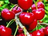 大量批发嫁接黑珍珠樱桃树苗 嫁接车厘子樱桃树苗