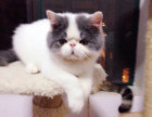 家养健康胖嘟嘟两只加菲猫小猫儿免费送喜欢幼猫新猫妈照顾啦
