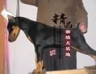河南郑州杜宾犬幼犬价格