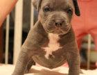 精品比特犬包纯种保健康签协议出售全国可飞可上门
