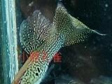 蛇王蕾丝热带鱼等