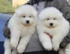 自家大狗生的一窝5只萨摩耶宝宝免费找人领养 上海本地的上门来