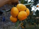 正宗临海涌泉蜜桔果农产地直发采摘 水果批发一件代发货源