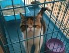家有小加菲猫出售